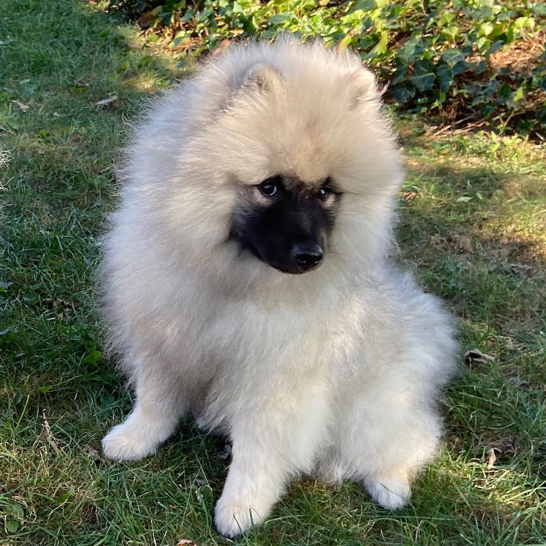 14 Adorable Facts About Fluffy Bears - Keeshonds | PetPress