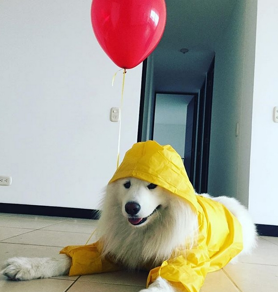15 Best Halloween Costumes For Your Samoyed 2019   PetPress