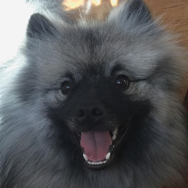 14 Reasons Why The Keeshond Totally Owns The Nickname The ...