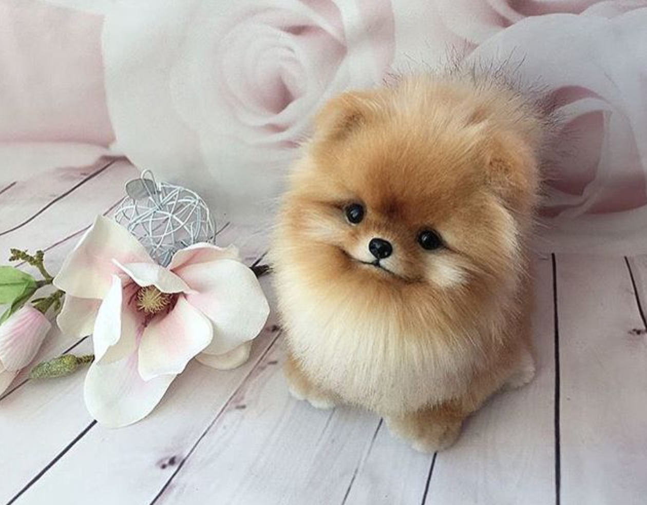 Mini Pomeranian – Would You Love a Mini Version Of These ... |Pom Puppies