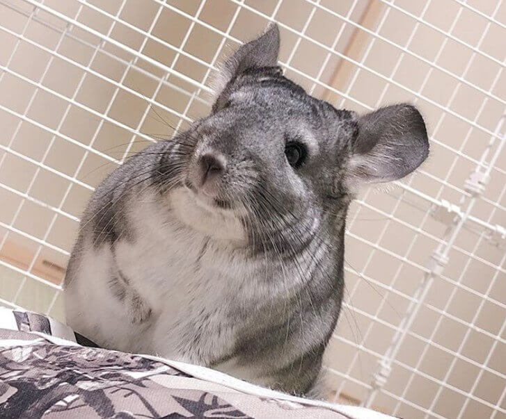 Best Chinchilla Names - 500 Amazing Ideas For Naming Your ...