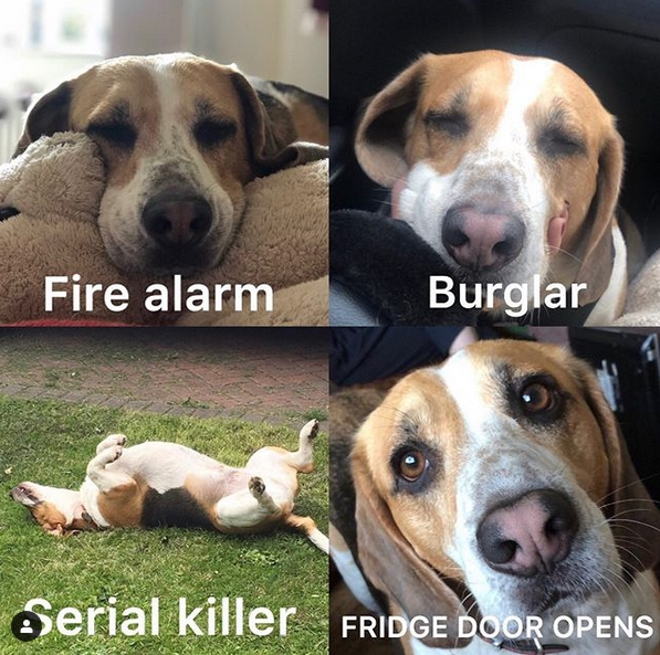 14 Funny Beagle Memes That Will Make Your Day! | PetPress