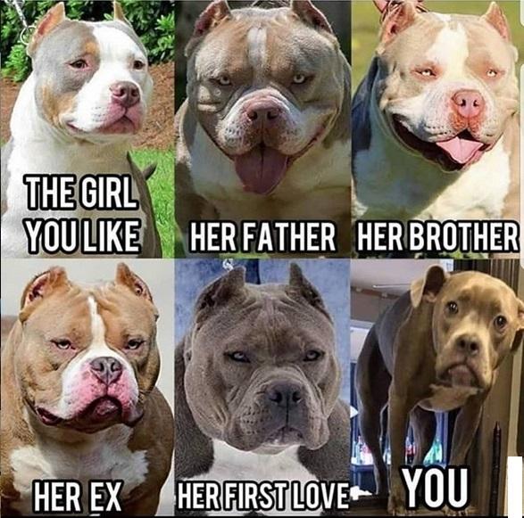 The 15 Funniest Pitbull Memes Of The Week Petpress