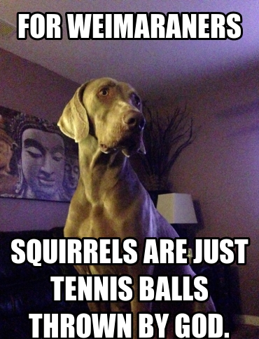 14 Funny Weimaraner Memes That Will