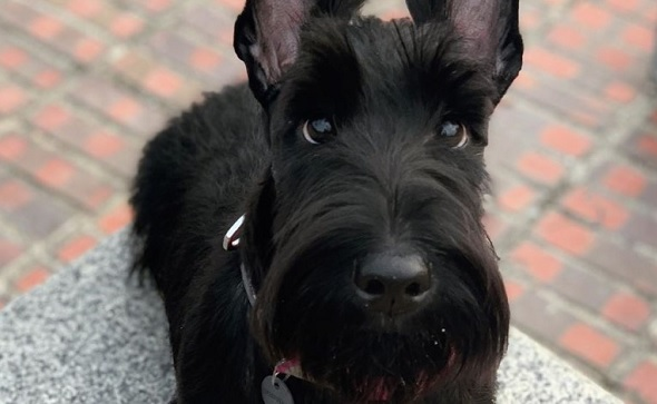 I Has A Hotdog Scottish Terrier Funny Dog Pictures Dog Memes