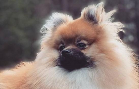 39 Elegant Female Dog Names For Pomeranians | PetPress