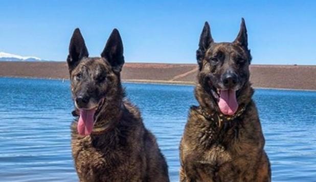 Top 120 Best Dutch Shepherd Dog Names Petpress