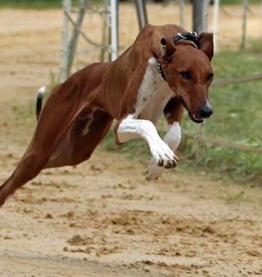 Top 200 Best Azawakh Dog Names Petpress