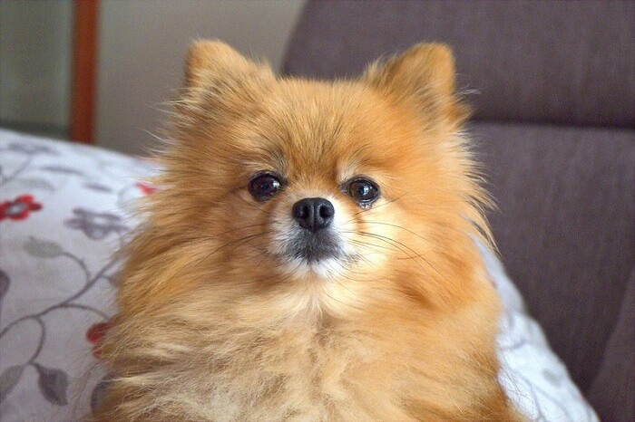 Pomeranian Dog Names - Over 300 Gorgeous Ideas! | PetPress