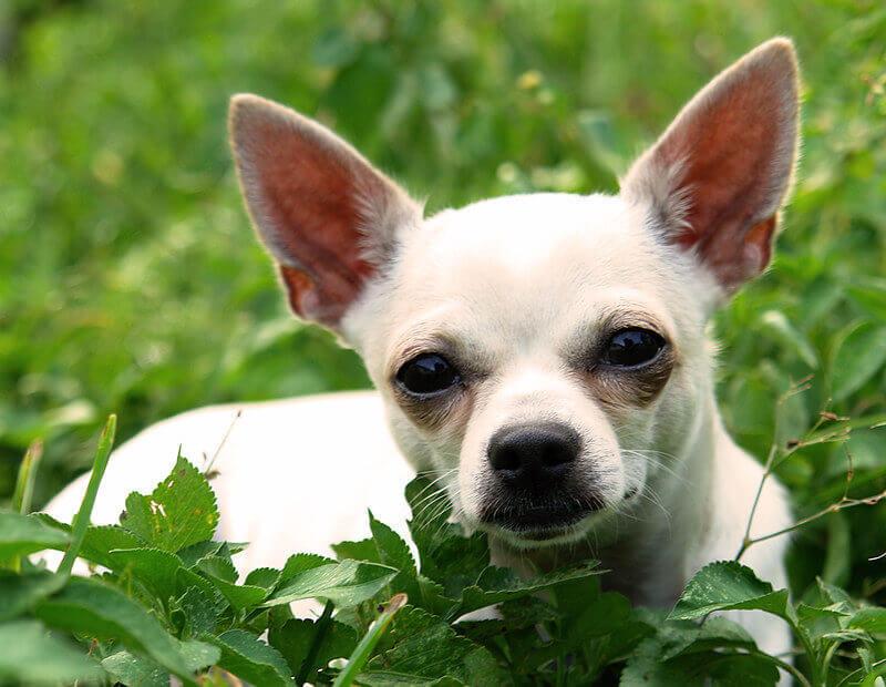 120 Cute Boy Chihuahua Names Male
